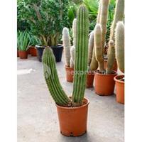 plantenwinkel.nl Marshallocereus cactus thurberii L kamerplant