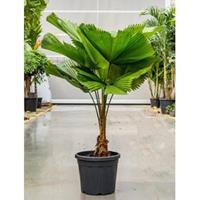 plantenwinkel.nl Licuala Palm grandis waaierpalm kamerplant
