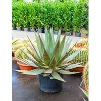 plantenwinkel.nl Agave triangularis L kamerplant