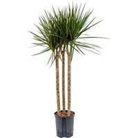 plantenwinkel.nl Dracaena marginata spider trio 60 hydrocultuur plant