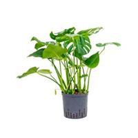 plantenwinkel.nl Monstera pertusem L gatenplant hydrocultuur plant
