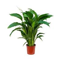 plantenwinkel.nl Spathiphyllum sweet lauretta M kamerplant
