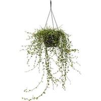 plantenwinkel.nl Muehlenbeckia maori hangplant
