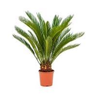 plantenwinkel.nl Cycas Palm revoluta stam XS kamerplant