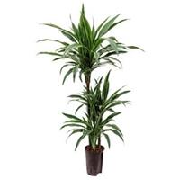 plantenwinkel.nl Dracaena deremensis barranquilla hydrocultuur plant