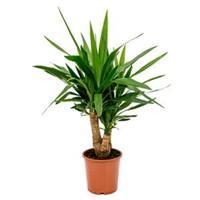 plantenwinkel.nl Yucca elephantipes vertakt S kamerplant