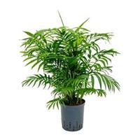 plantenwinkel.nl Chamaedorea palm elegans M hydrocultuur plant