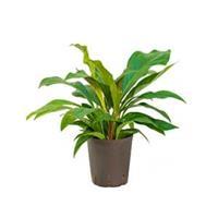 plantenwinkel.nl Anthurium jungle bush S hydrocultuur plant