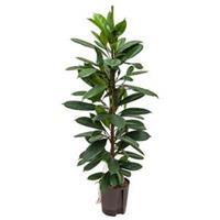 plantenwinkel.nl Ficus cyathistipula 2pp L hydrocultuur plant