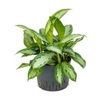 plantenwinkel.nl Aglaonema silver bay L hydrocultuur plant