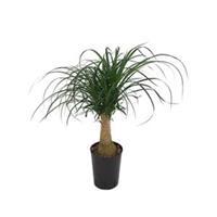plantenwinkel.nl Beaucarnea recurvata stam 30 hydrocultuur plant