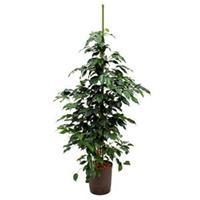 plantenwinkel.nl Ficus danielle M hydrocultuur plant