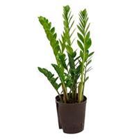 plantenwinkel.nl Zamioculcas zamiifolia M hydrocultuur plant