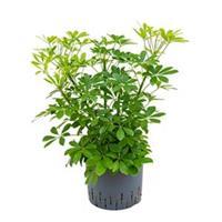 plantenwinkel.nl Schefflera arboricola bush hydrocultuur plant