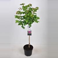 plantenwinkel.nl Rozen op stam Minerva - Op stam 70 cm - 1 stuks