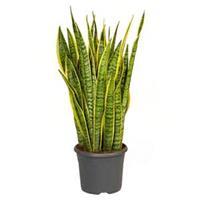 plantenwinkel.nl Sansevieria laurentii XL kamerplant