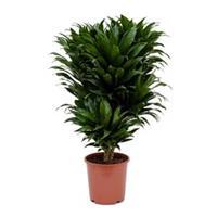plantenwinkel.nl Dracaena compacta M kamerplant
