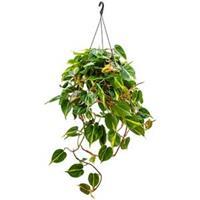 plantenwinkel.nl Philodendron grand brasil hangplant