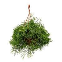 plantenwinkel.nl Rhipsalis clavata kamerplant