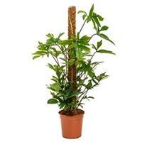 plantenwinkel.nl Philodendron pedatum mosstok 120 kamerplant