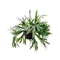 plantenwinkel.nl Platycerium bifurcatum hertshoornvaren kamerplant
