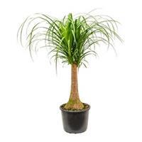 plantenwinkel.nl Beaucarnea recurvata Stam M kamerplant