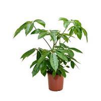plantenwinkel.nl Schefflera amate S kamerplant