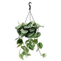 plantenwinkel.nl Scindapsus epipremnum pictus trebie L hangplant