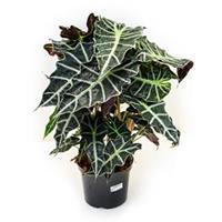 plantenwinkel.nl Alocasia polly kamerplant