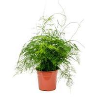plantenwinkel.nl Asparagus plumoses M kamerplant