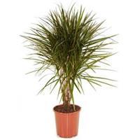 plantenwinkel.nl Dracaena marginata XS kamerplant