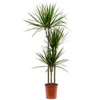 plantenwinkel.nl Dracaena marginata M kamerplant