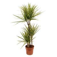 plantenwinkel.nl Dracaena marginata sunray M kamerplant