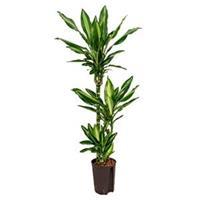 plantenwinkel.nl Dracaena cintho pelotas hydrocultuur plant