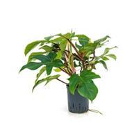 plantenwinkel.nl Philodendron squamiferum hydrocultuur plant