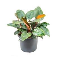 plantenwinkel.nl Philodendron red congo M kamerplant