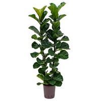 plantenwinkel.nl Ficus lyrata bambino 2pp hydrocultuur plant