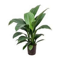 plantenwinkel.nl Spathiphyllum sensation S hydrocultuur plant