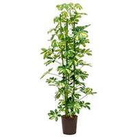 plantenwinkel.nl Schefflera gold capella 3pp hydrocultuur plant