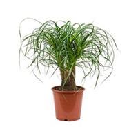 plantenwinkel.nl Beaucarnea recurvata everto kamerplant