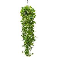 plantenwinkel.nl Scindapsus epipremnum aureum XL hangplant
