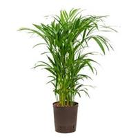 plantenwinkel.nl Areca palm lutescens hydrocultuur plant