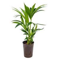 plantenwinkel.nl Kentia palm forsteriana hobart hydrocultuur plant