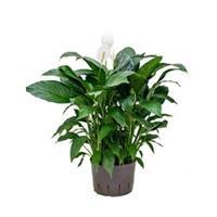 plantenwinkel.nl Spathiphyllum gokyo L hydrocultuur plant