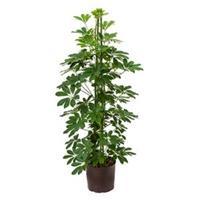 plantenwinkel.nl Schefflera arboricola 3pp hydrocultuur plant