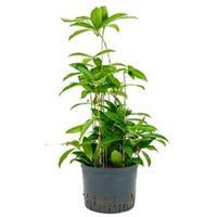 plantenwinkel.nl Dracaena surculosa L hydrocultuur plant