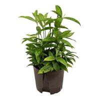 plantenwinkel.nl Dracaena surculosa M hydrocultuur plant