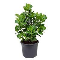 plantenwinkel.nl Clusia rosea princess S kamerplant