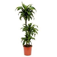 plantenwinkel.nl Dracaena dorado S kamerplant