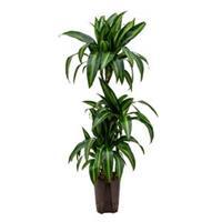 plantenwinkel.nl Dracaena hawaiian sunshine trio S hydrocultuur plant